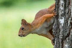 Europees-Aziatische rode eekhoorn Sciurus vulgaris op berkboomstam met vage groene achtergrond stock foto