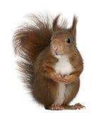 Europees-Aziatische rode eekhoorn, vulgaris Sciurus Royalty-vrije Stock Foto