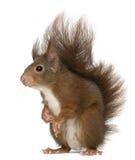 Europees-Aziatische rode eekhoorn, vulgaris Sciurus stock foto's