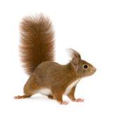Europees-Aziatische rode eekhoorn - vulgaris Sciurus (2 jaar) Stock Foto