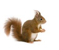 Europees-Aziatische rode eekhoorn - vulgaris Sciurus (2 jaar) royalty-vrije stock fotografie