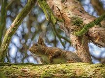 Europees-Aziatische rode eekhoorn, vulgaris Sciurus Stock Afbeeldingen