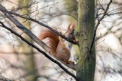 Europees-Aziatische rode eekhoornzitting op boom en het likken van sap van schors royalty-vrije stock afbeelding