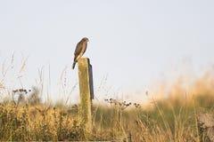 Europees-Aziatische Sparrowhawk Royalty-vrije Stock Afbeelding