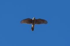 Europees-Aziatische Sparrowhawk Royalty-vrije Stock Afbeeldingen
