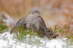 Europees-Aziatische sparrowhawk, Accipiter-nisus, die op de sneeuw in het bos zitten met ving weinig zangvogel Het wild Dierlijke royalty-vrije stock afbeelding