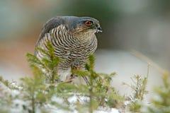 Europees-Aziatische sparrowhawk, Accipiter-nisus, die op de sneeuw in het bos zitten met ving weinig zangvogel Het wilddier van a royalty-vrije stock afbeeldingen