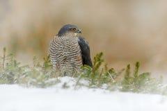 Europees-Aziatische sparrowhawk, Accipiter-nisus, die op de sneeuw in het bos zitten met ving weinig zangvogel Het wilddier van a royalty-vrije stock foto's