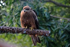 Europees-Aziatische sparrowhawk, Maharashtra Bossen, India stock fotografie