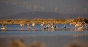 Europees-Aziatische Spoonbills en Grotere Flamingo's Royalty-vrije Stock Fotografie
