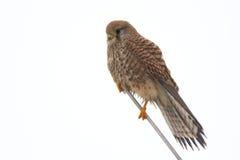 Europees-Aziatische Torenvalk - Falco-tinnunculus royalty-vrije stock afbeeldingen