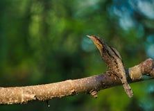 Europees-Aziatische torquilla van wryneckjynx zit op een boomtak op een zonnige ochtend royalty-vrije stock afbeeldingen