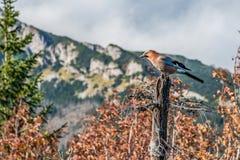 Europees-Aziatische Vlaamse gaai die op dode boom in Tatra-bergen rusten, Polen royalty-vrije stock afbeelding