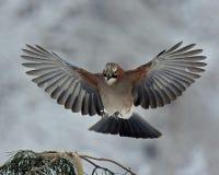 Europees-Aziatische Vlaamse gaai die tegen een tak van de de winterpijnboom vliegen stock foto
