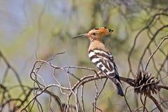 Europees-Aziatische Vogel Hoopoe royalty-vrije stock afbeeldingen