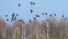 Europees-Aziatische Wintertalingenvlieg samen met Wilde eenden over de herfstmoeras royalty-vrije stock fotografie