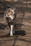 Europees-Aziatische Wolf Royalty-vrije Stock Afbeeldingen