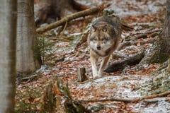 Europees-Aziatische wolf in aardhabitat in Beiers bos royalty-vrije stock fotografie