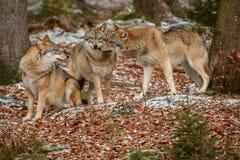 Europees-Aziatische wolf in aardhabitat in Beiers bos royalty-vrije stock foto