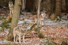 Europees-Aziatische wolf in aardhabitat in Beiers bos royalty-vrije stock afbeelding