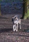 Europees-Aziatische Wolf in Forest Trees royalty-vrije stock afbeeldingen