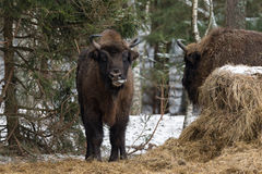 Europees Bison Aurochs, Bison Bonasus Licks Itself With Tongu Stock Foto