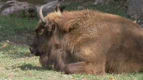 Europees Bison Laying stock video
