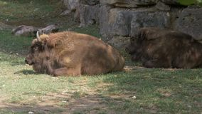 Europees Bison Laying stock footage