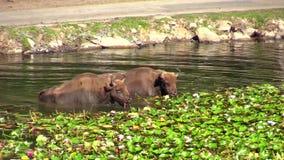 Europees bizon of wisent stock videobeelden