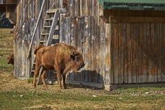Europees bizonwijfje en haar kalf Royalty-vrije Stock Afbeeldingen
