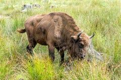 Europees bizonwisent, Zubr in weiland in de zomer royalty-vrije stock fotografie