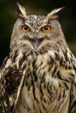 Europees Eagle Owl - Schotse Hooglanden stock afbeeldingen