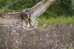 Europees Eagle Owl tijdens de vlucht Stock Foto