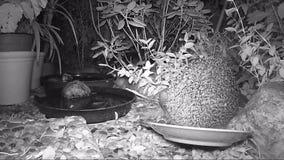 Europees egel het voeden kattenvoedsel in tuin tijdens nacht stock footage