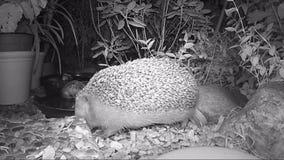 Europees egel het voeden kattenvoedsel in tuin tijdens nacht stock videobeelden