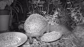 Europees egel het voeden kattenvoedsel in tuin tijdens nacht stock video