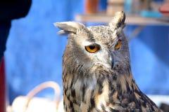 Europees (Europees-Aziatisch) Eagle Owl (Bubo-bubo) stock afbeelding