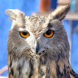 Europees (Europees-Aziatisch) Eagle Owl (Bubo-bubo) stock fotografie