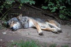 Europees Grey Wolf, Canis-wolfszweer in de dierentuin stock afbeelding