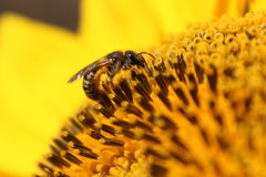 Europees Honey Bee Collects Nectar From een Zonnebloem Stock Fotografie