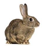 Europees konijn of gemeenschappelijk konijn, 3 maanden oud royalty-vrije stock foto