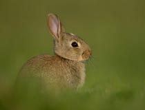 Europees konijn (Oryctolagus-cuniculus) stock afbeelding