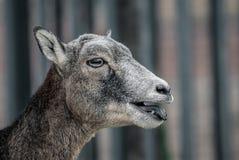 Europees Mufflon-wijfje stock afbeeldingen
