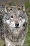 Europees Redwolf-Portret Stock Fotografie