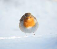 Europees Robin Snow Portrait Royalty-vrije Stock Afbeelding