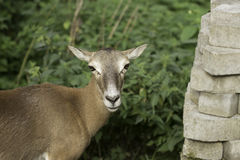 Europees Roe Deer Royalty-vrije Stock Afbeelding