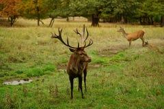 Europees rood hertenmannetje in de bronst De herfstidylle met gebladerteverkleuring stock fotografie