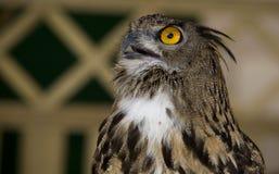 Europeisk Örn-Owl som ser upp Arkivbilder