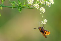 Europeisk bålgeting, bålgeting, Wasp royaltyfria bilder