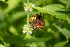 Europeisk bålgetingVespacrabro med Honey Bee Royaltyfri Bild